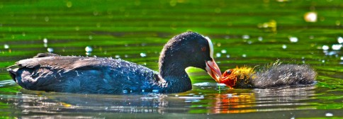 cropped-coot-2.jpg