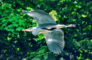 Wildlife Heron