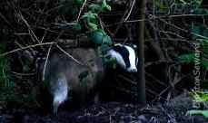 Badger 08