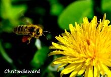 Honey Bee 2