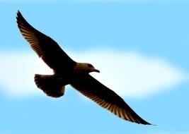 Juvanile Gull